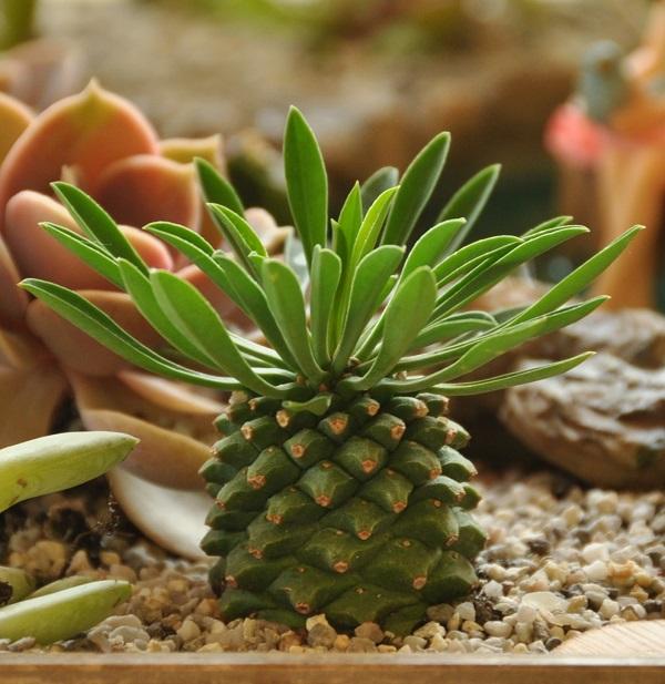 euphorbia_bupleurifolia_susannae-600.jpg