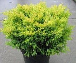 juniperus-horizontalis-lime.jpg