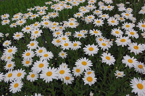 leucanthemum_maximum.jpg