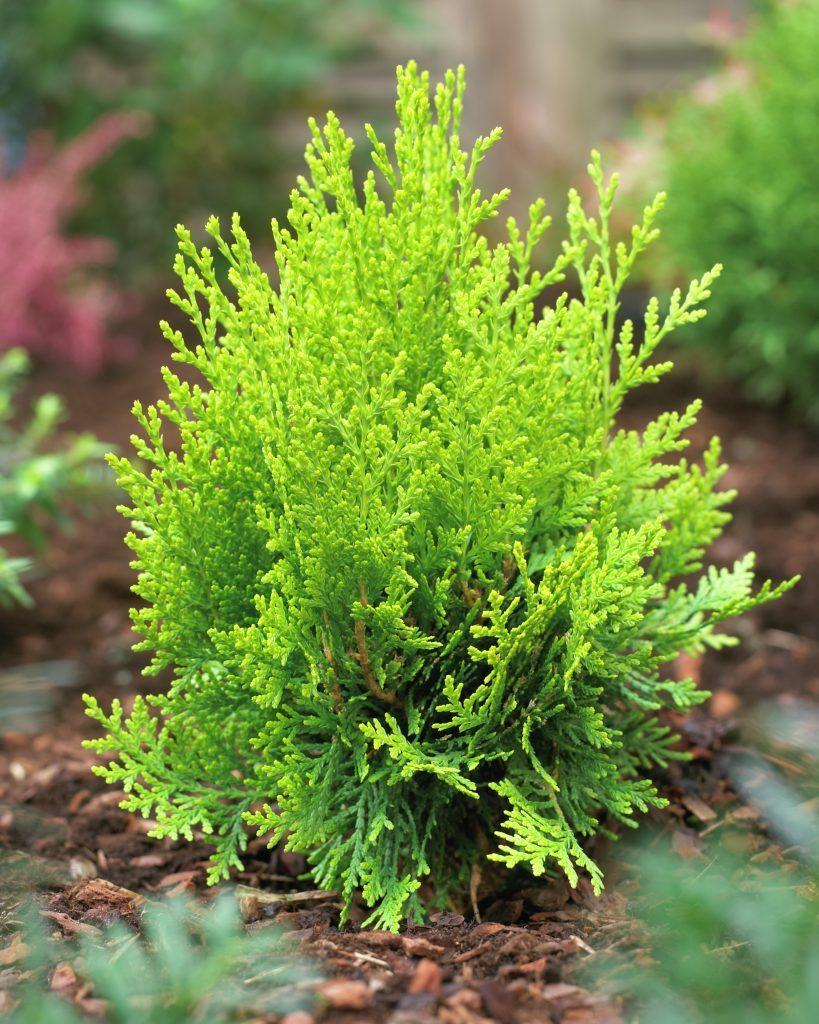thuja-occidentalis-aurea-nana.jpg