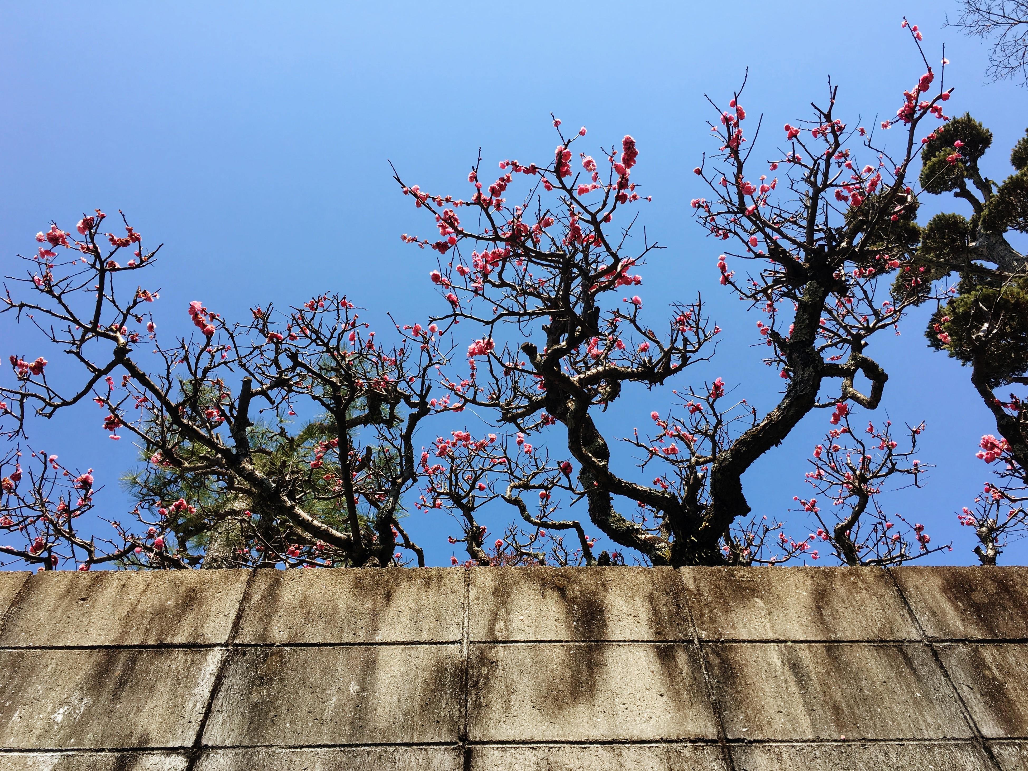 Sakura végre