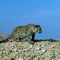 Tudtad, hogy leopárdok éltek a Jordántól keletre?