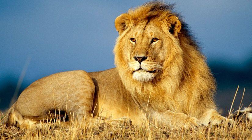 tribe-of-judah-lion_825_460_80_c1.jpg