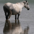 a fehér ló feláldozása