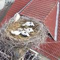 Drónkép a kistószegi fészekaljról - Köszönjük!