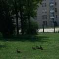 Eltévedt vadkacsa család keresi a helyét a Nagy Károly tér közelében