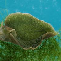 A félig állat, félig növény tengeri csiga