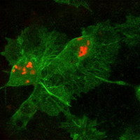 Hemocyták harca Real-time