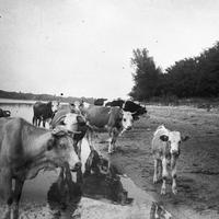 Így viszonyultak elődeink a tejhez