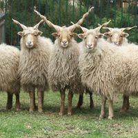A racka juhok olyan ellenállóak, hogy majdnem kipusztultak miatta