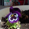 Balkonvirágok - tipp: ültetés nagyméretű virágtartóba, balkonládába