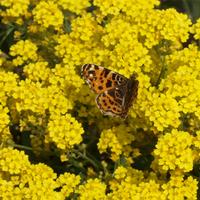 Pillangólesen szenderülve