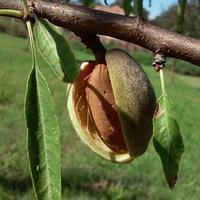 Őszi gyümölcseink