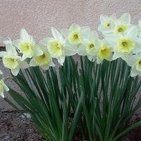 Húsvétváró - virágok és sonka :)