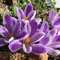 Lila virágköltemények: krókuszok