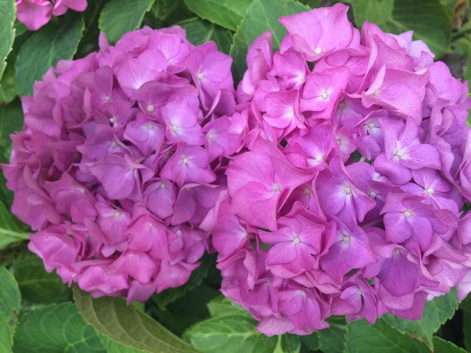 hortenzia-lila.jpg