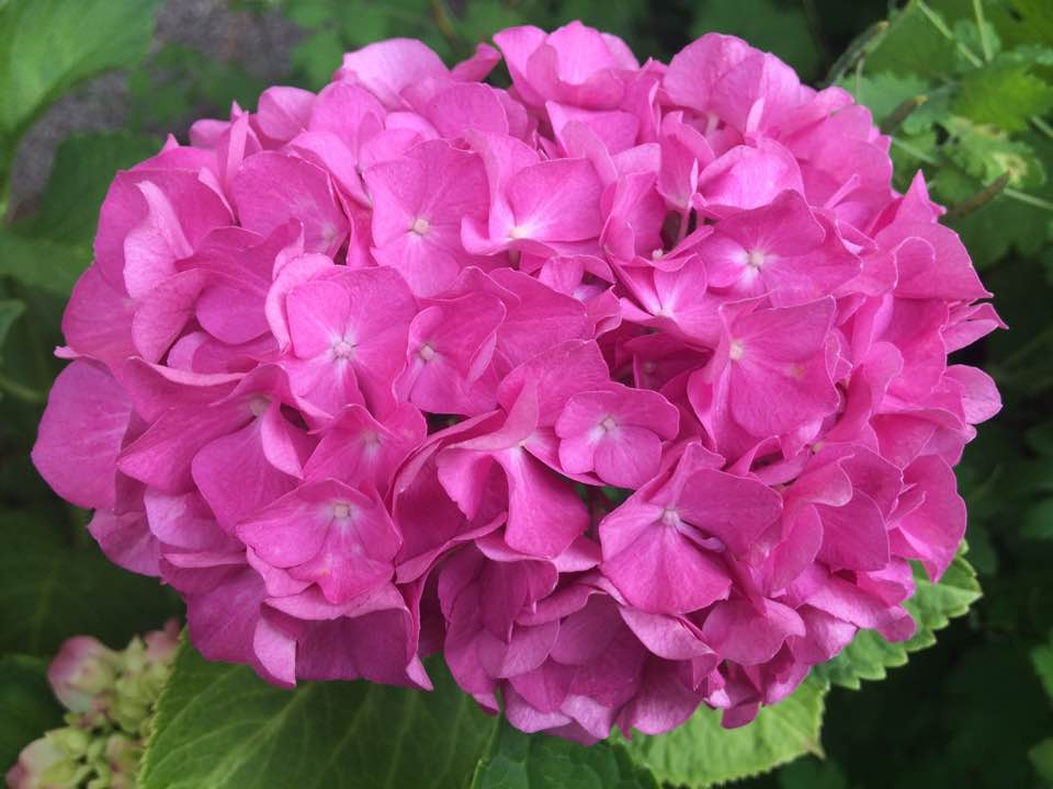 hortenzia-rozsaszin.jpg