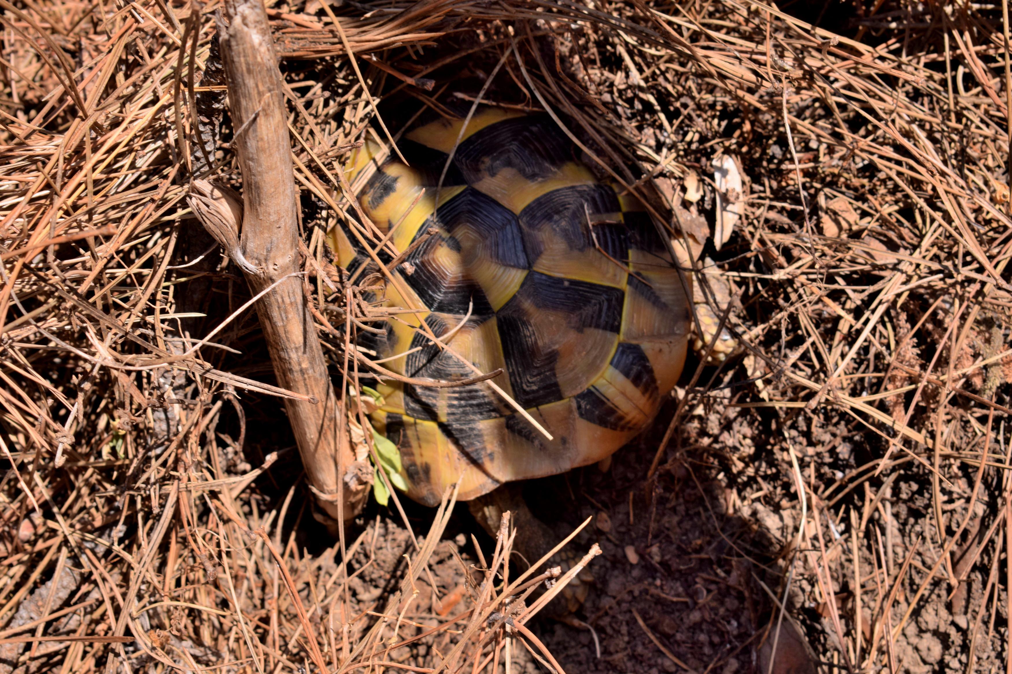 A város mellett közvetlenül található egy fenyőerdő, itt a domboldalba ásta be magát ez a teknős, közvetlenül az út mellett.