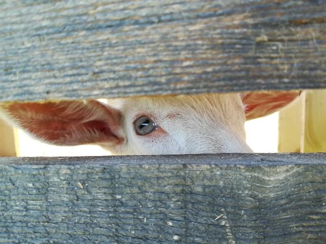 koza-na-farmi.jpg
