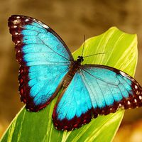 Mi az a Blue Morpho?