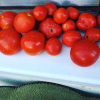 Piros + Fehér + Zöld = saját paraficsom termésünk az ablakpárkányon a fotel mellett