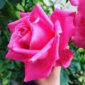 Az élet apró örömei...egy rózsa illata