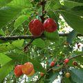 A ma reggeli szekszárdi tükörjég után felidézném az egyik kedvenc hónapomat: június, amikor ilyen fincsi cseresznyéket lehet enni #