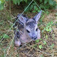 Még június elején találták kisfiúk a pici őzikét a Gemenci erdőben...ilyenkor - gondolom Ti is tudjátok - mihamarabb ott kell hagyni a kis állatot a helyén, anélkül, hogy hozzá érnénk, elmozdítanánk, mert az anyja csak akkor fog visszamenni hozzá gondozni...ugyanis a mi jelenlétünktől (szagunktól) fél. #őz #gemenc #magyar #erdő #capreoluscapreolus #roe #baby #babyanimals #spring #june #forest #ware
