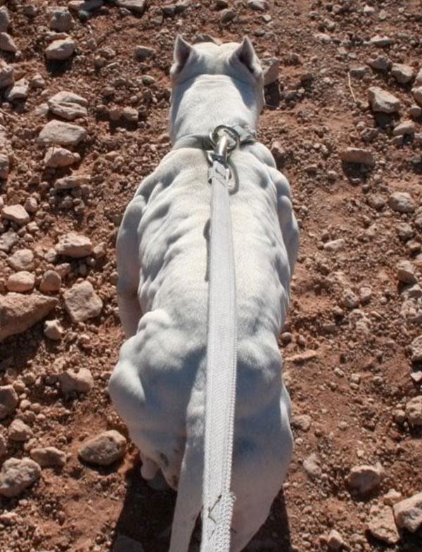 Most-Muscular-Dogs0015.jpg
