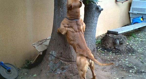Most-Muscular-Dogs0016.jpg