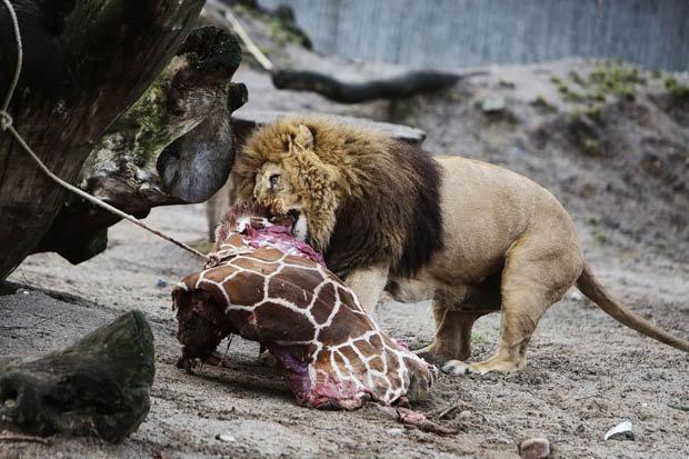 marius_copenhagen_zoo_giraffe_lion-364703.jpg