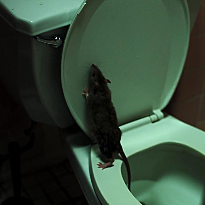 rat3.jpg