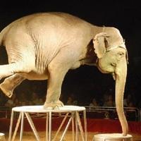 MELYIK A NAGYOBB ÁLLATKÍNZÁS: A cirkusz  vagy egy husky érdi garzonban?