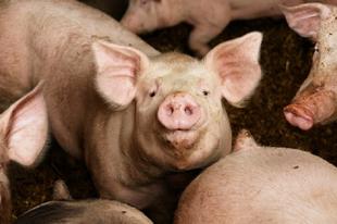 VESZÉLYBEN AZ ÉRDIEK HÁZI KOLBÁSZA?! Durva sertésjárványra figyelmeztet a Nébih