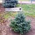 Valaki új fát csent a megcsonkított fenyő helyére Győrújfalun