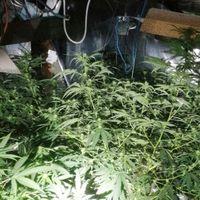 NEM JÖTT ÖSSZE! Lebukott a győrsági hétvégi házában drogot termesztő manus! (VIDEÓVAL!)