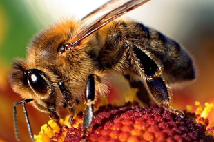 ZÜM-ZÜM! A győri méheket Brüsszel védte meg az Orbán-kormány ellenében.