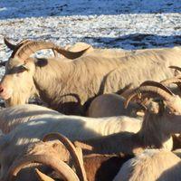 TATABÁNYA KECSKÉJE: Már át is vette az irányítást új helyén Meki, a Turulnál elfogott hatalmas kecske