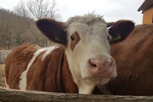 Ön hordana trágyát a kedvenc tehenénél, hogy lássa, honnan kerül Tatabányára a tej?