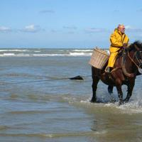 Ötszáz éves hagyomány: lovas rákhalászat a belga tengerparton