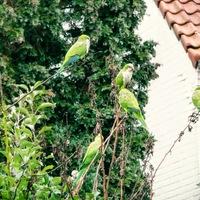 Hogy kerülnek trópusi papagájok Brüsszel parkjaiba?
