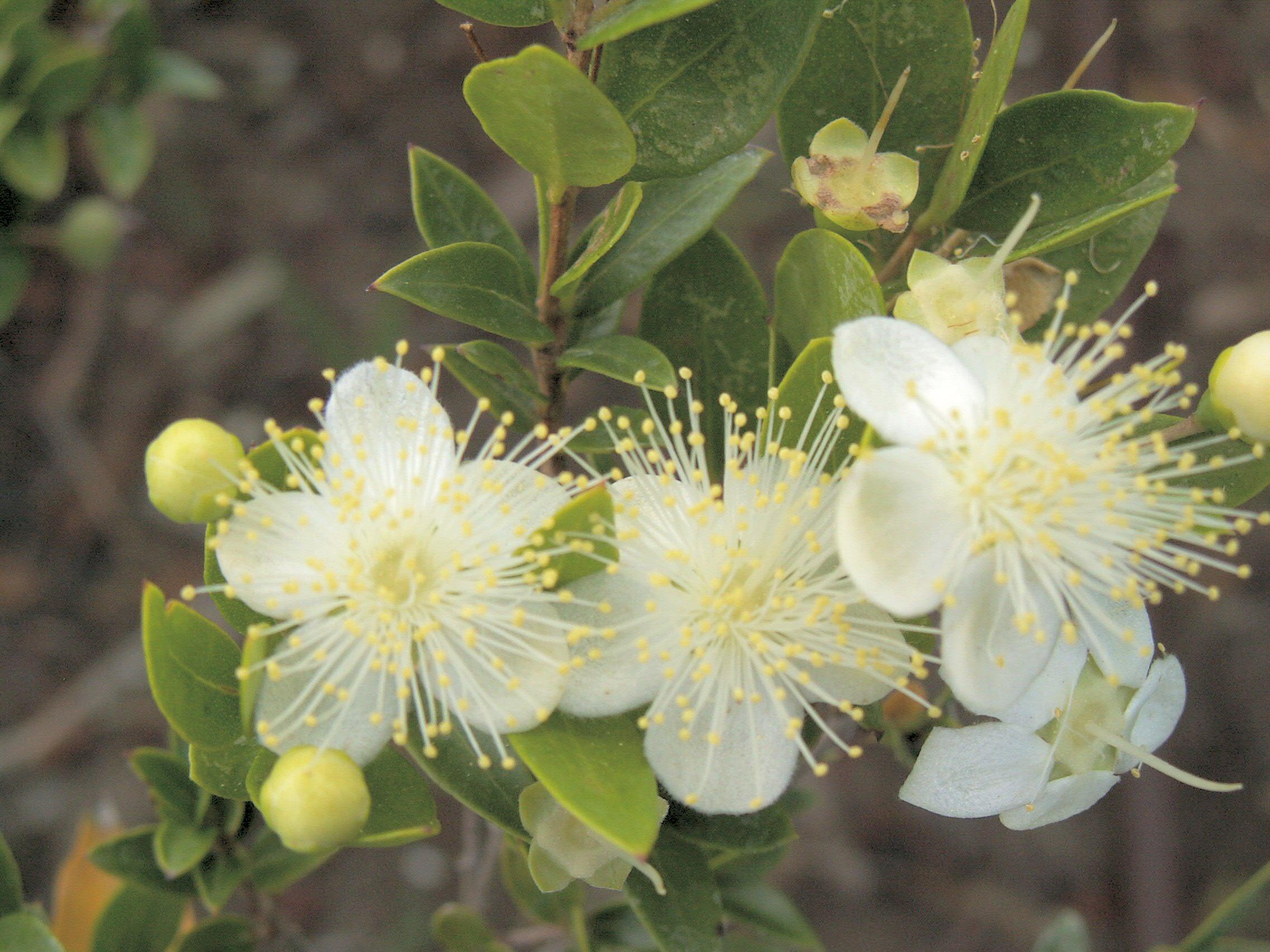 myrtus_flowering.jpg