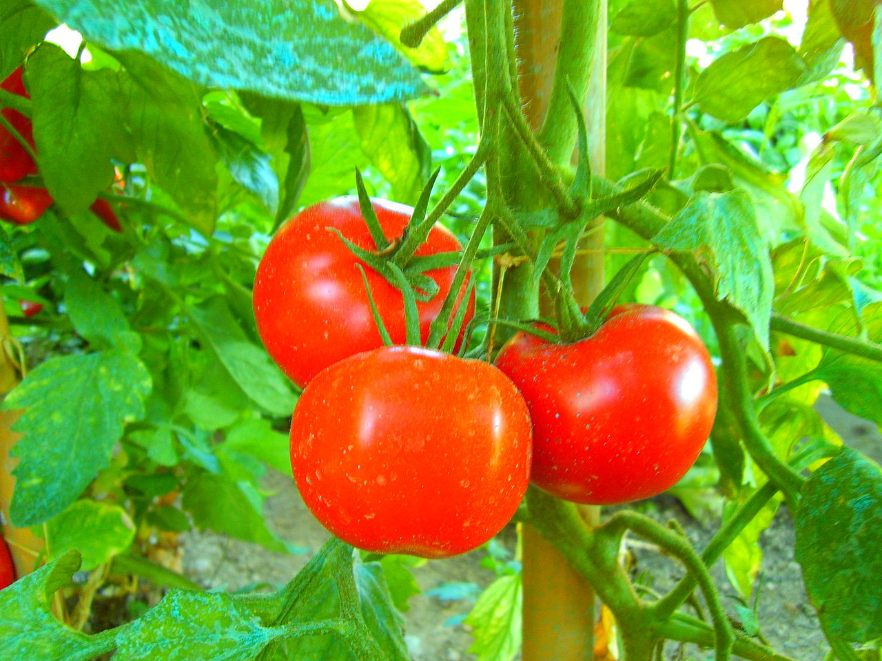 1280px-tomaten_tomatoes_pomodori.jpg