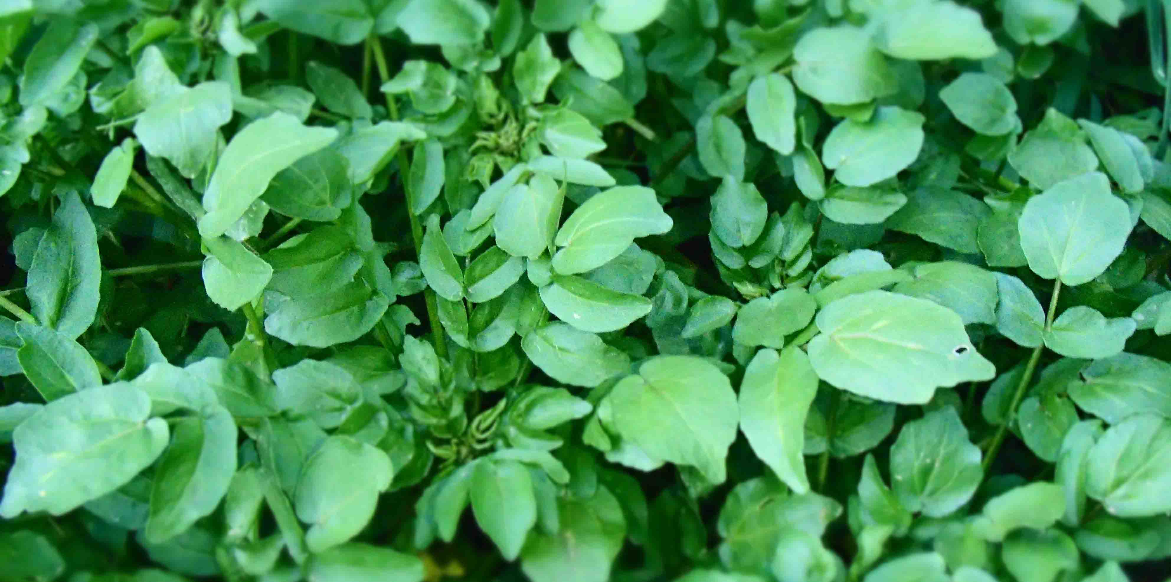 watercress_1.jpg