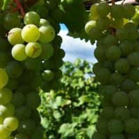 Telepítsünk szőlőt?!