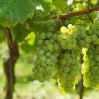 Növényvédelmi előrejelzés - szőlő