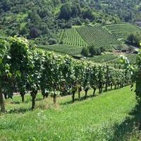 A szőlő nyár végi növényvédelme