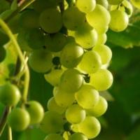 Szőlész-borász szakmérnök képzés