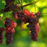 Drágább lesz a szőlő?