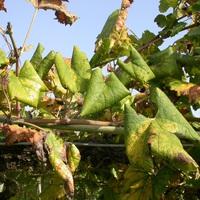 Szőlő: Támogatják az amerikai szőlőkabóca elleni védekezést